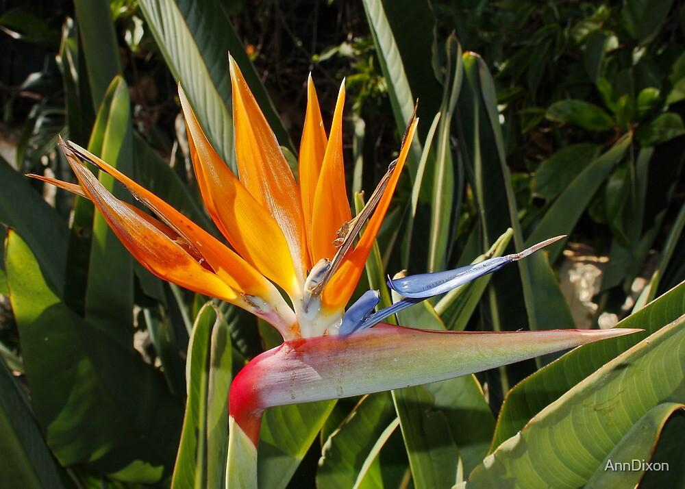 Quot Strelitzia National Flower Of Madeira Quot By Anndixon