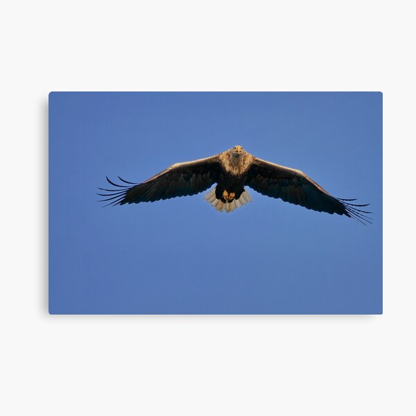 White-tailed Eagle Canvas Print