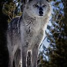 Beware The Wolf by Sue  Thomson