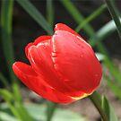 Tulip by -Nesquik-