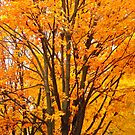 Orange Maples by Shulie1