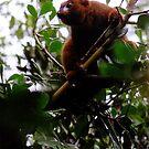 Lemur Rubriventer by Joumana Medlej