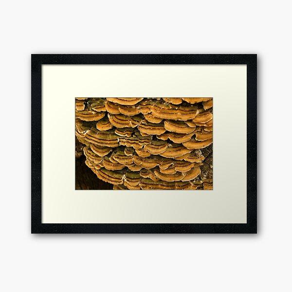 Turkey Tail - fungi ~ Close-up Framed Art Print