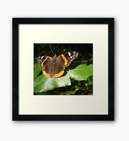 RED ADMIRAL BASKING IN THE EVENING SUN Framed Print