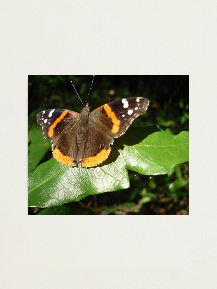Alternate view of RED ADMIRAL BASKING IN THE EVENING SUN Photographic Print