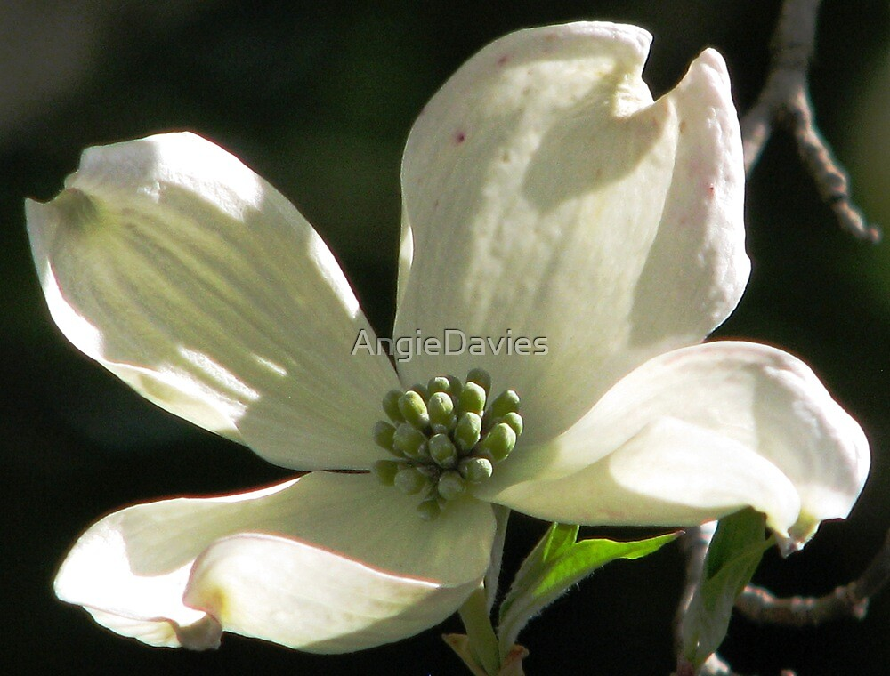 The Purity of Dogwood by AngieDavies