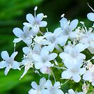 white wildflowers by Christine Ford