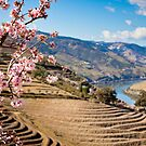 Almond blossom by Mario Brandao