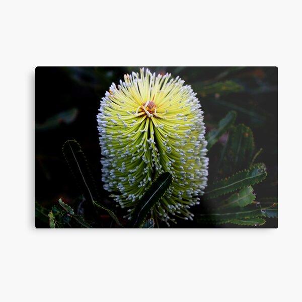 Banksia aemula  Metal Print