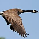Goose in flight by Gregg Williams