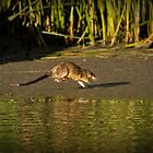 Australian Water Rat by Barb Leopold