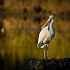 Golden Spoonbill by Barb Leopold