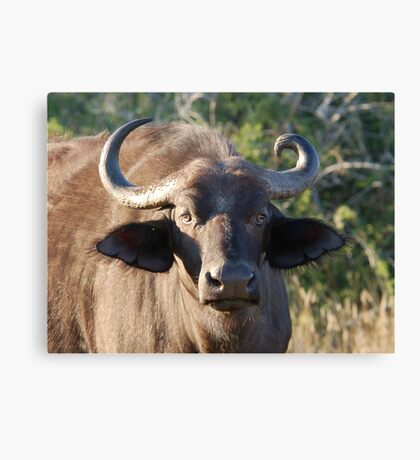 NOBODY IS PERFECT ! The Buffalo - Syncerus caffer (Buffel0 Canvas Print