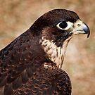 Juvenile Peregrine Falcon by Sue  Thomson