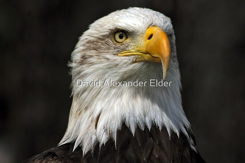 Bald Eagle Gazing by David Alexander Elder