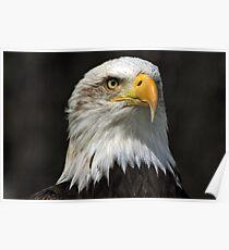 Bald Eagle Gazing Poster
