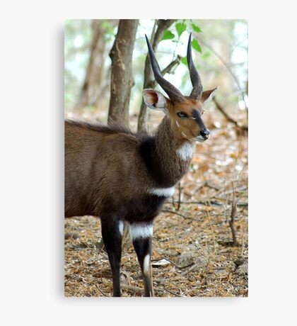 YEAH, I KNOW I AM GORGEOUS! THE BUSHBUCK MALE - Tragelaphus scriptus - Bosbok Canvas Print