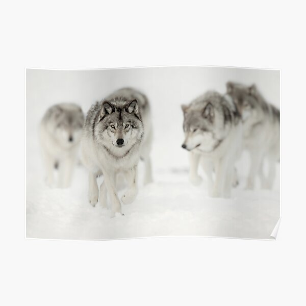 Timber Wolf Pack Poster