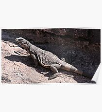 """""""This is really my Best Side"""" - Las Vegas Chuckwalla Lizard Poster"""