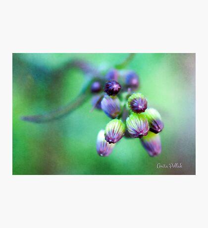 Soft Focus Ragwort Buds Photographic Print