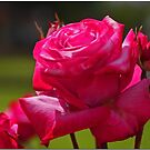 Spring  Roses by Chet  King