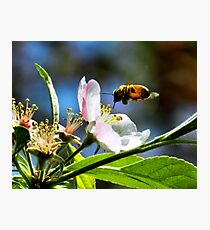 Apple Blossom & Honey Bee Photographic Print