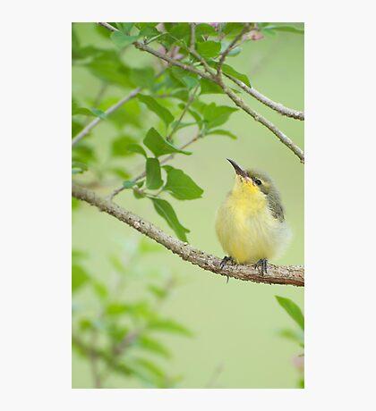 Hi Mum - baby sunbird in my garden. Photographic Print