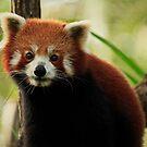 Gorgeous Red Panda by Sea-Change