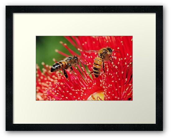 Two bees sitting on a red-flowering gum by Heather Samsa