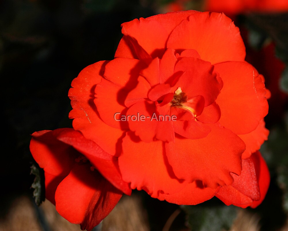 Red Tuberous Begonia Flower by Carole-Anne