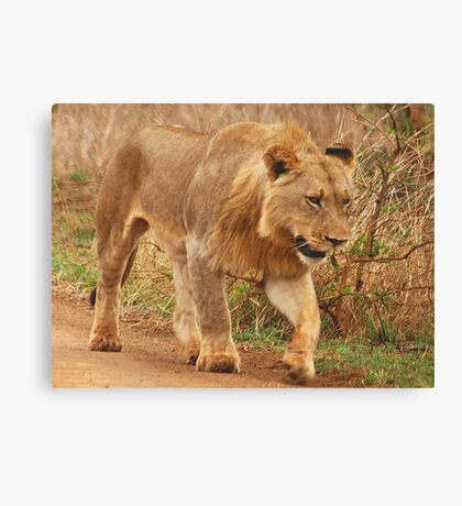 WISDOM - THE LION - panthera leo - Leeu Canvas Print