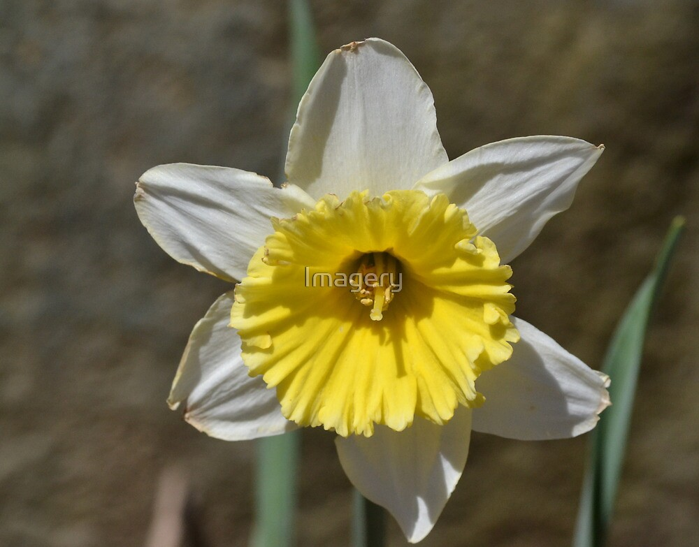 Son of Daffy by Imagery