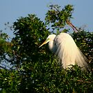 """  The Great Egret  "" by fortner"