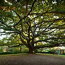 The Old Oak Tree by Andrew Cowell