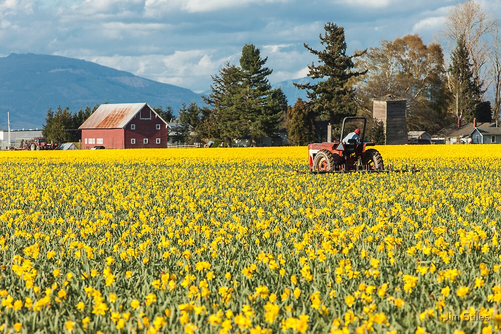 Skagit Valley Daffodil Fields by Jim Stiles