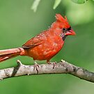 Northern Male Cardinal by Briar Richard