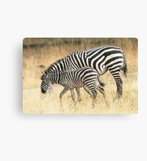 Zebras in the rain Canvas Print
