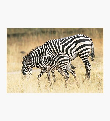 Zebras in the rain Photographic Print