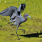 Stalking Little Blue Heron by Kathy Baccari