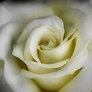 Rose in White by Barbara  Brown