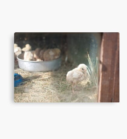 The lonely chick Canvas Print