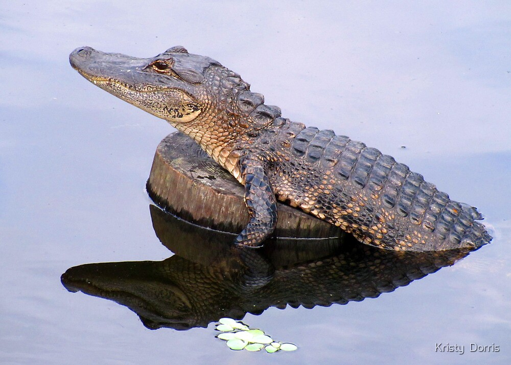 The Gator is BACK!! by Kristy Dalpez