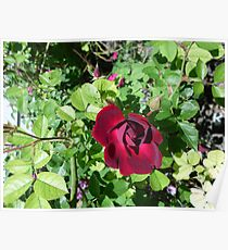 Red rose bud blooming Poster