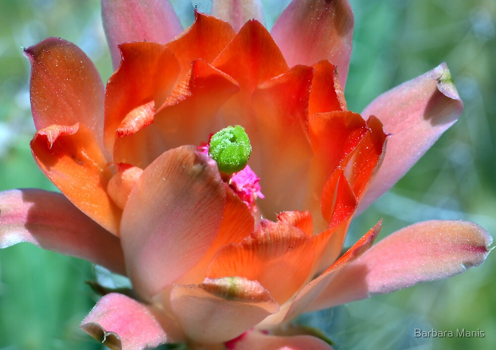 Cactus Flower by Barbara Manis