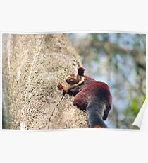 Nilgiri Giant Squirrel Poster