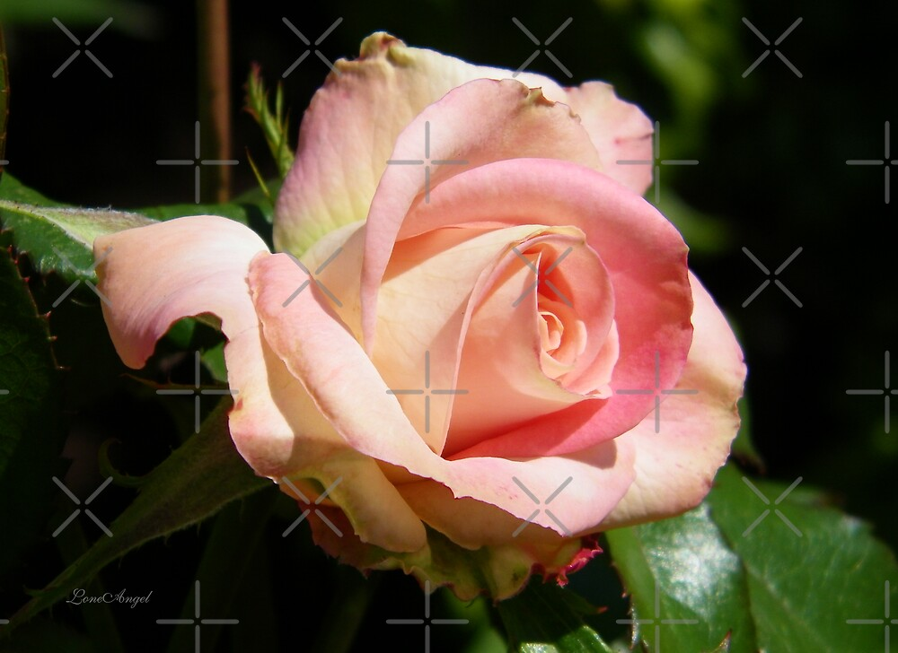 A Delicate Pink Rose by LoneAngel