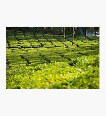 Munnar Tea Plantation Photographic Print
