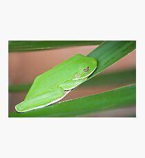 Hangin Out, green tree frog Fotodruck