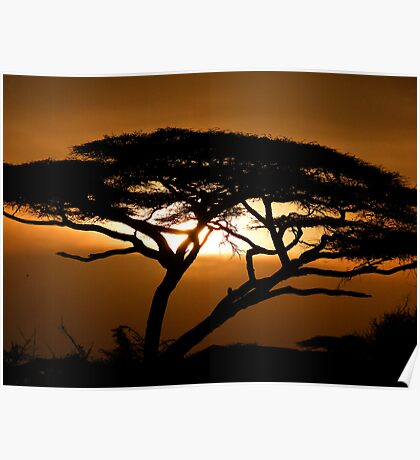 Flat top acacia at sunset Poster