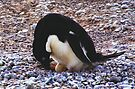 Adelie Penguin on its Nest by Carole-Anne